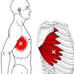 The Serratus Anterior functions to protract and upwardly rotate the scapulae.